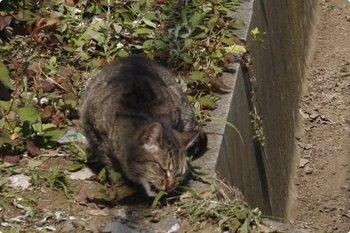2010年6月3日 8時半頃、高田馬場~下落合、線路脇で草を舐める(?)猫。