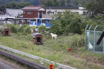 2010年9月18日、元加治、ヤギのみどりとそら。