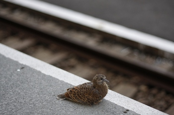 2011年8月2日 朝5時35分ころ、所沢駅4番ホーム池袋方の端にたたずむカルガモの若鳥?