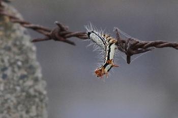 2011年9月11日、埼玉県入間市、有刺鉄線が揺れ硬直した芋虫。