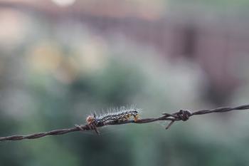 2011年9月11日、埼玉県入間市、有刺鉄線を這う芋虫。