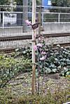2012年4月6日、高田馬場~下落合間の線路脇のツツジ