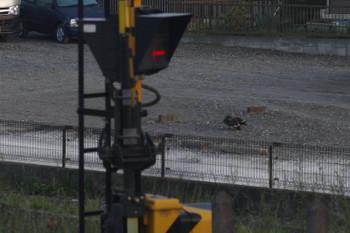 2017年5月8日、元加治、駅近くの道路で3羽のカルガモが何やらしてました。