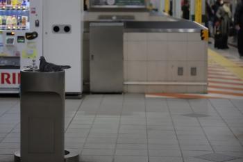 2019年2月9日 6時16分ころ、練馬駅、ホームの水飲み場で堂々と休憩の鳩1羽。