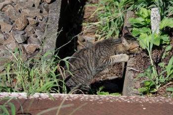 2020年9月8日。東伏見〜武蔵関。線路脇の側溝から猫さんが出てきました。