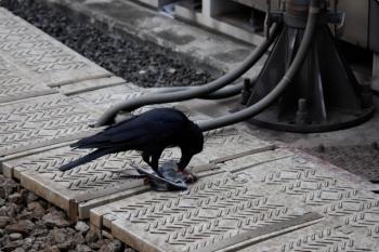 2021年4月13日。石神井公園。ふと見ると、線路脇の鳩の死骸をカラスがついばんでました。