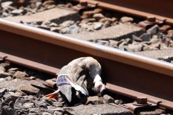 2021年5月8日 9時15分頃。元加治〜飯能駅間。元加治2号踏切の下り線脇のカモの死骸。