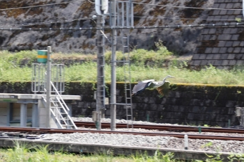 2021年7月23日 13時過ぎ。正丸駅。駅の近くを流れる高麗川にサギが舞い降りました。